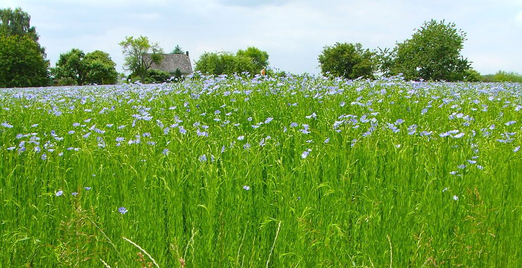 Flax Field in Germany